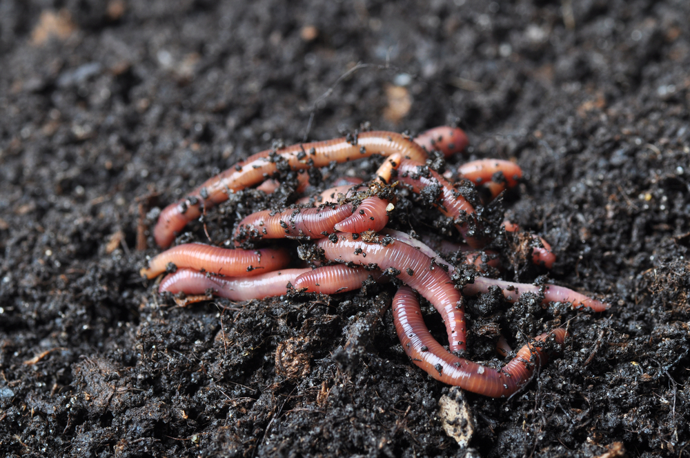 Earthworms make small hole in the soil, improving the uptake of water