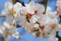 GettyImages-honeybee-almondcrop-dimitris_k