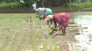 System-of-Rice-Intensification-workers-planting-rice