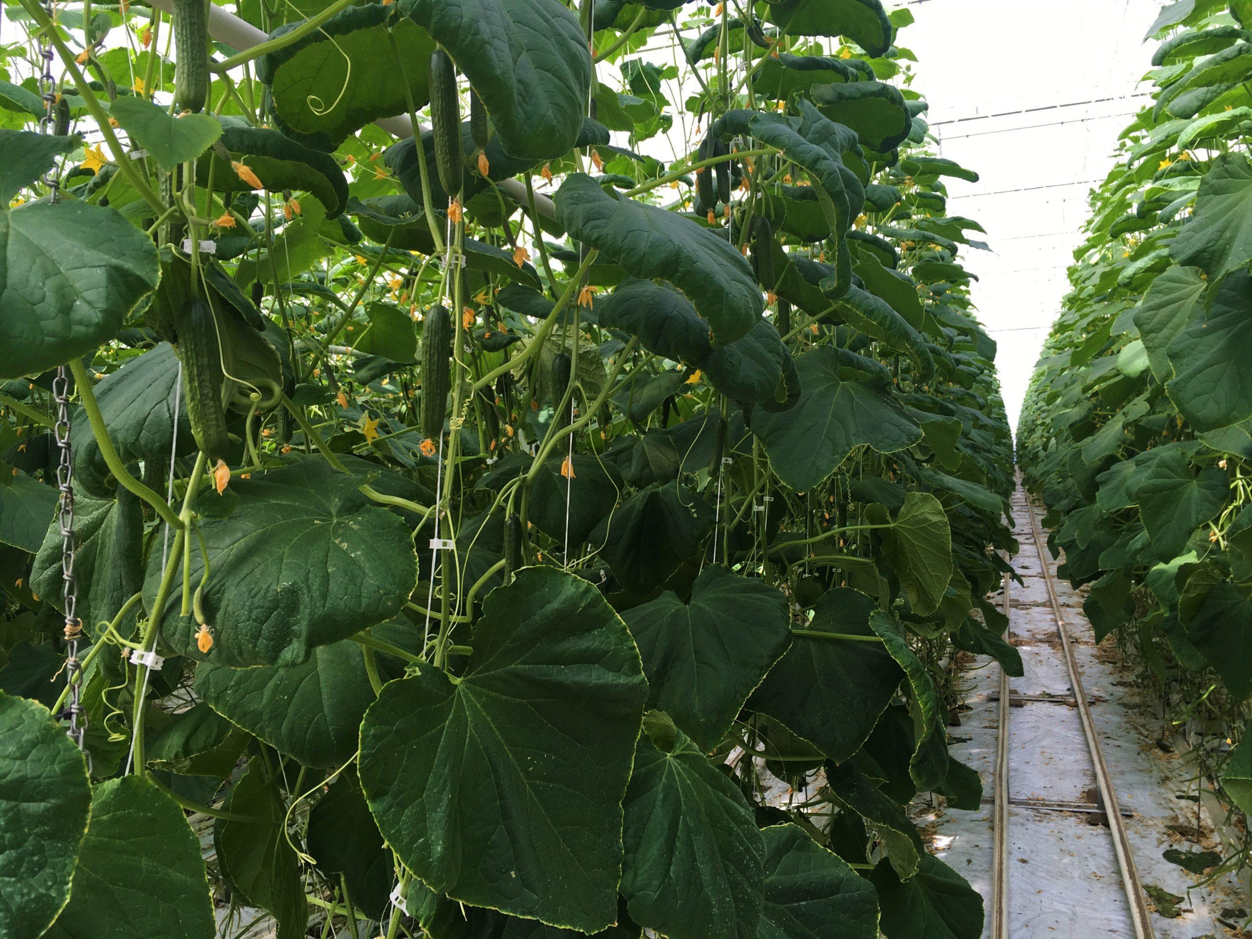 Cucumber plants growing indoors