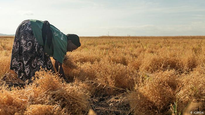 A woman harvests pulses in a field